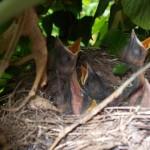 Nest mit Voegeln