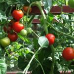 Bio Saatgut Tomate