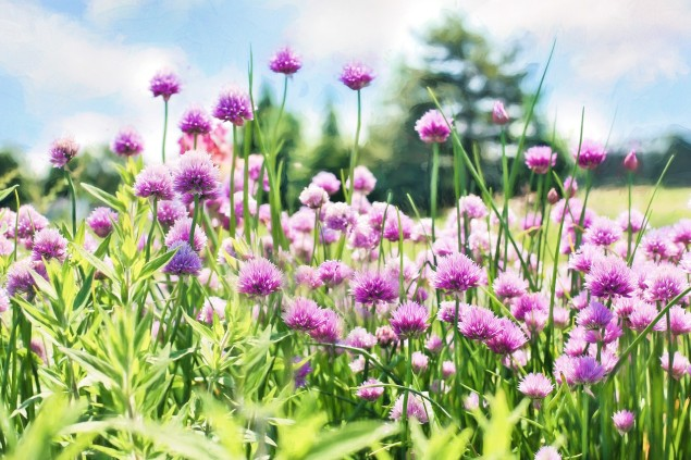 chives-798538_1280